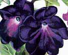 Georgia O'Keeffe Black and Purple Petunias