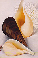 Georgia O'Keeffe Two White Shells One Black Shell 1937