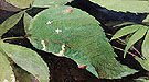White Birch Leaf Edge Caterpillar - Abbott Henderson Thayer reproduction oil painting