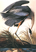 Great Blue Heron 1821 - John James Audubon reproduction oil painting