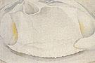 Clam Shell 1930 - Georgia O'Keeffe