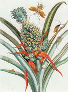 Plates 18 Spiders Ants and Hummingbirds and 9 Pineapple from Dissertation in Insect Generations and Metamorphosis in Surinam 1719 - Maria Sibylla Merian