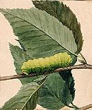 Caterpillar I - Abbott Henderson Thayer