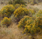 Apevig Rabbit Brush - Maynard Dixon